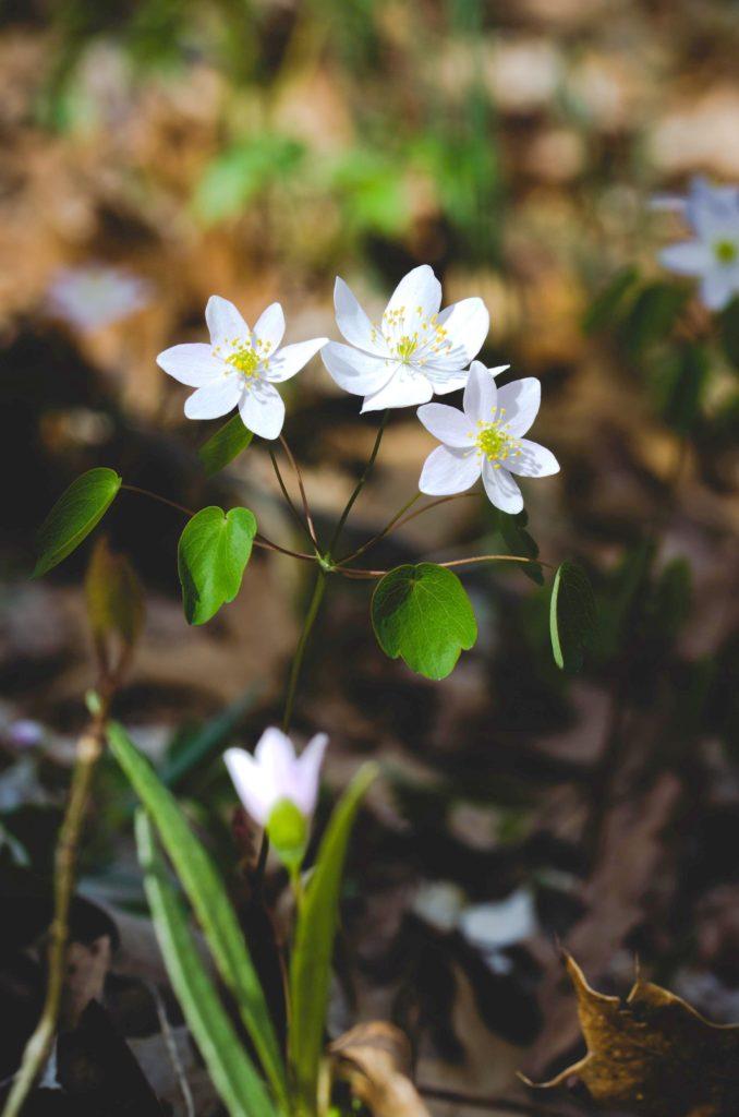 Hvid anemone - stort billede