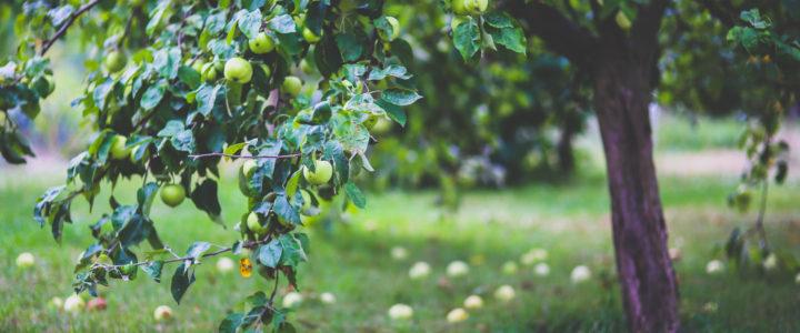 Plante frugttræer hvornår – og hvordan?