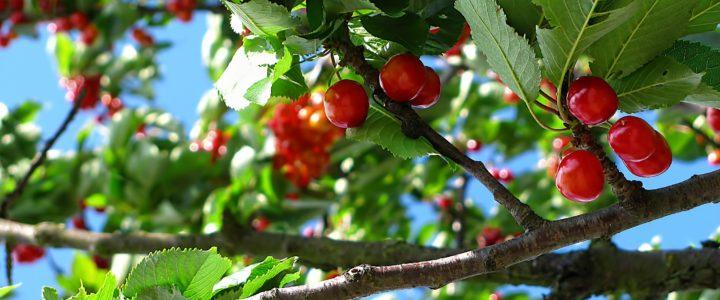 Kirsebærtræet