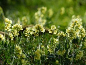 Kodriver blomst