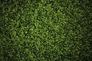Liguster grøn