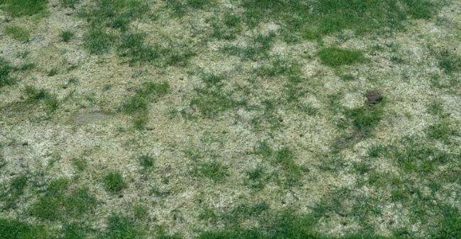 Sneskimmel i græsplæne